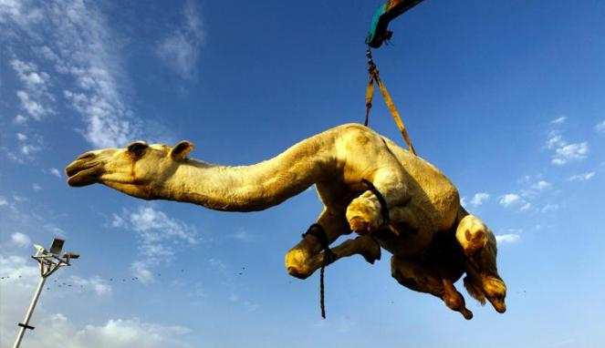 Perdagangan unta untuk kurban Idul Adha di Arab Saudi