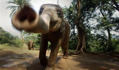 Contek Kopi Luwak, Thailand Bikin Kopi Gajah