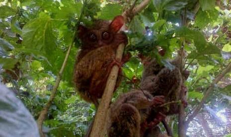 Belajar Cinta Sampai Mati dari Monyet Tarsius, Seperti Apa?